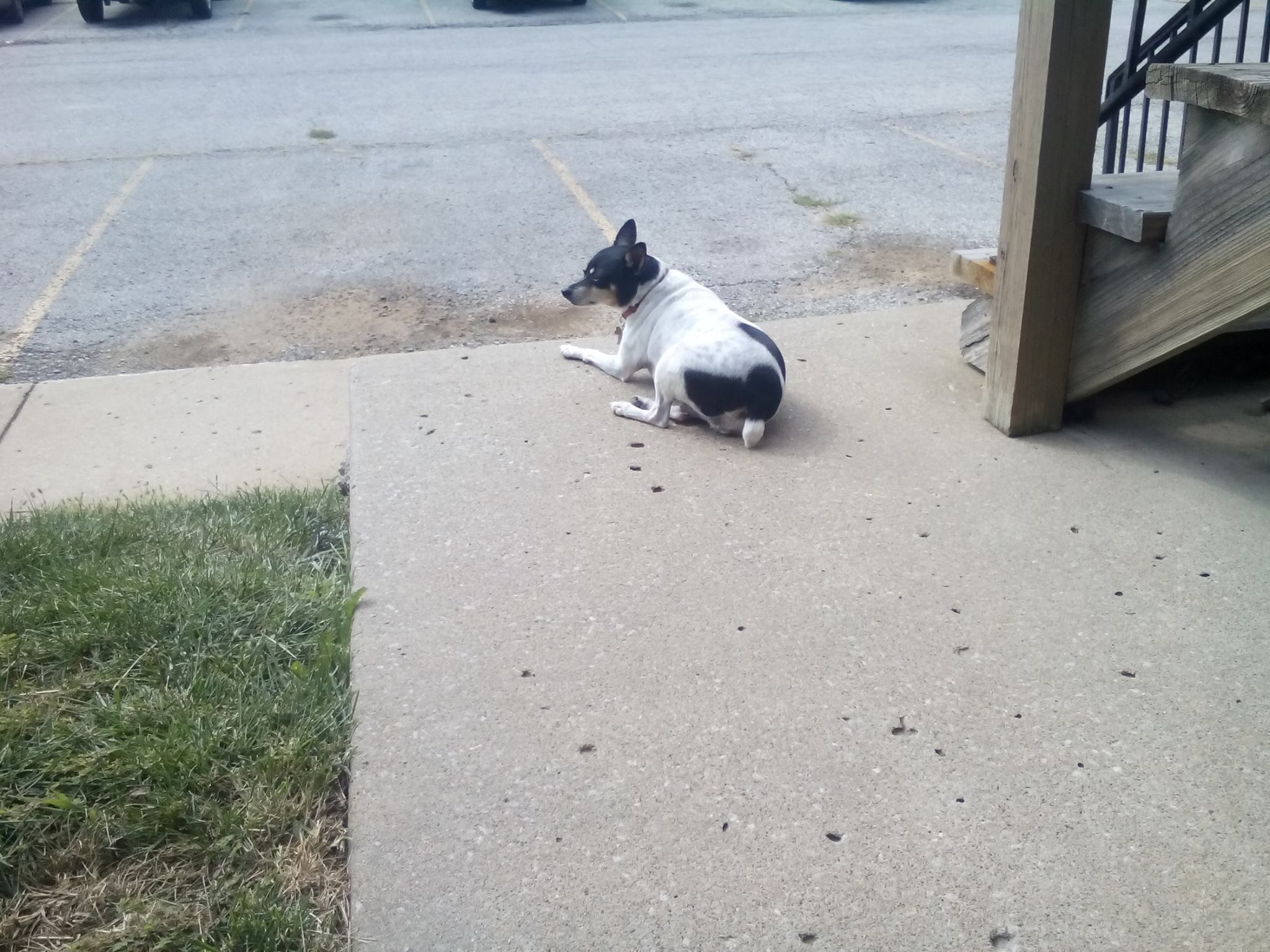 Little dog laying outside